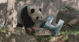 Video. Panda festeja su cumpleaños en zoológico de Washington DC