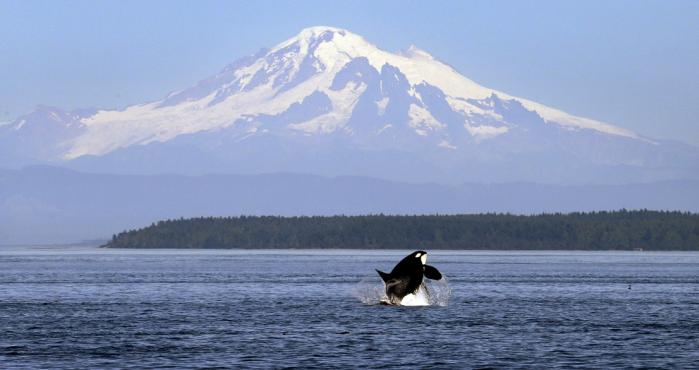 Orca en Washington