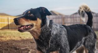 perro, pet, animal, blue heeler,